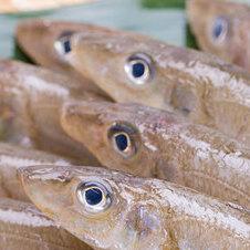 釣り船で釣れる魚の種類は?魚釣りに行く前に抑えておきたい魚の種類について